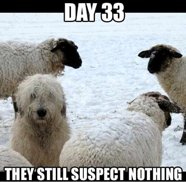 day-33-they-still-suspect-nothing-bobtail-sheepdog-and-sheep.jpg