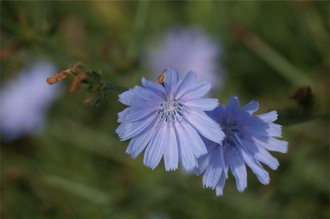 Blume-small